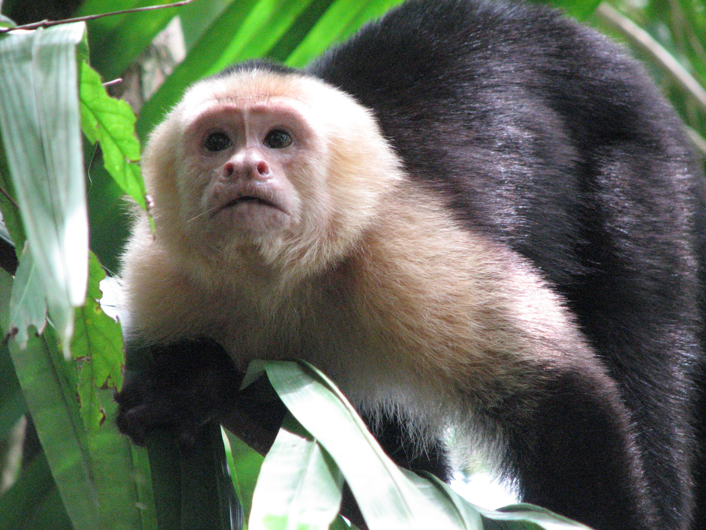 parc manuel antonio singe