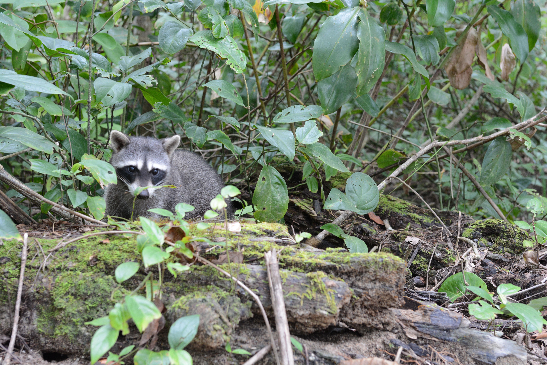 Raton laveur au Costa Rica