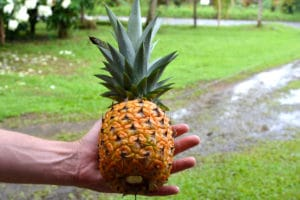 Ananas organique costa rica