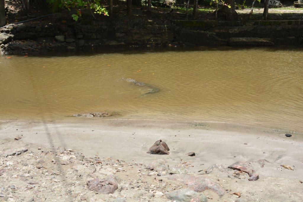 crocodile playa carillo