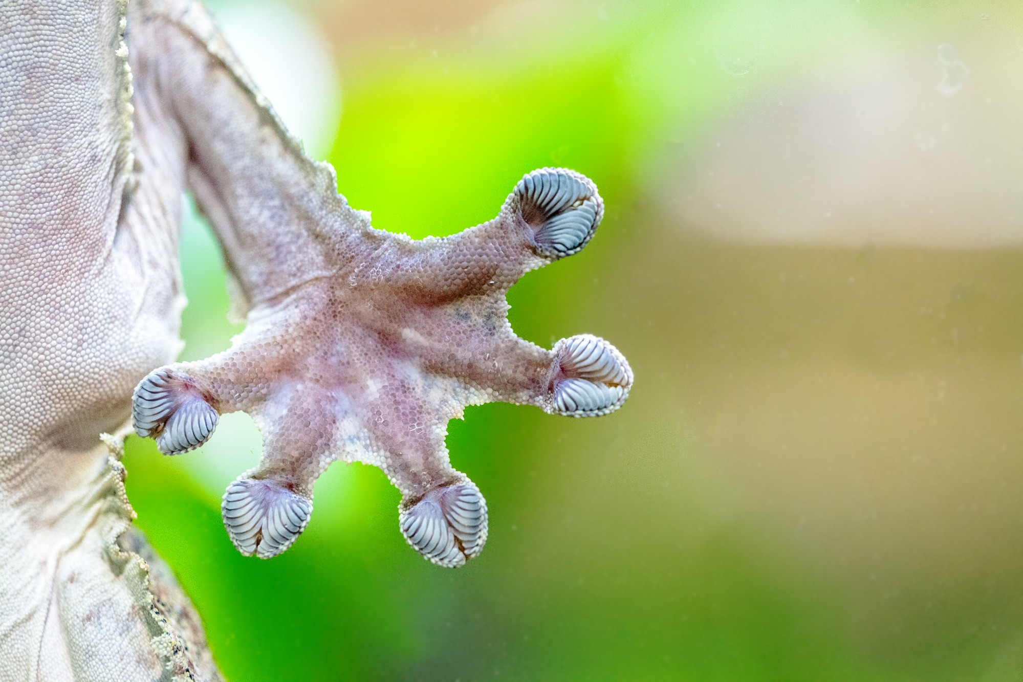 pattes gecko