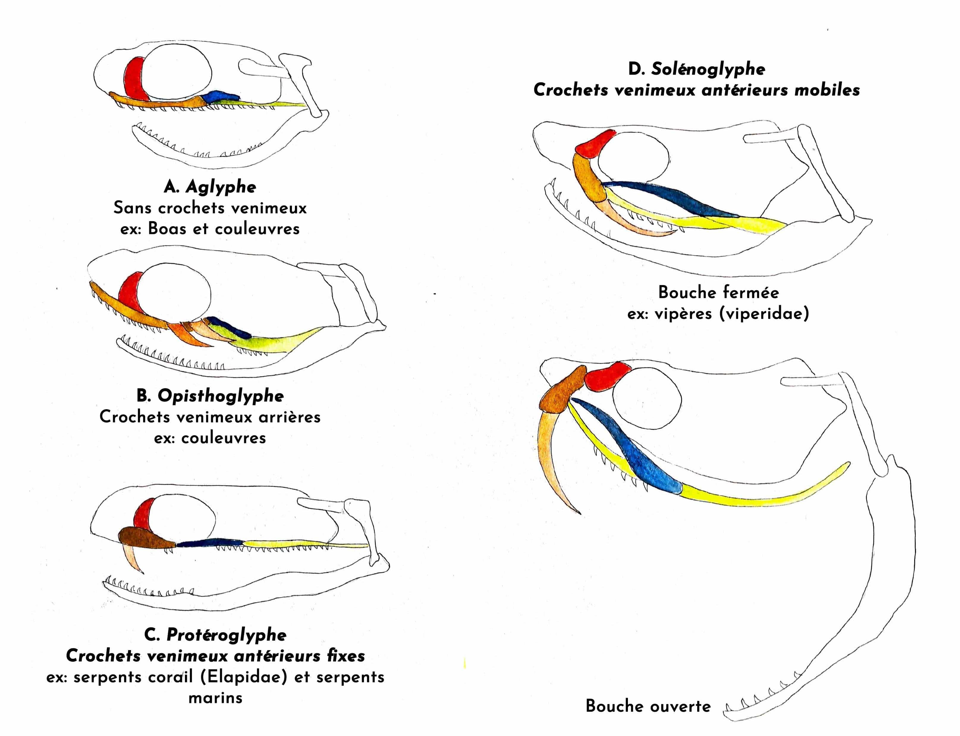 dentition des serpents